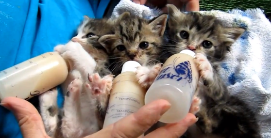 Baby-Kittens-drinking-milk.png